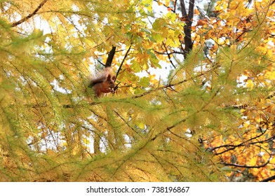 squirrel in the autumn forest on the branches of a coniferous tree