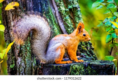 Squirrel in autumn forest scene. Autumn forest squirrel. Squirrel in autumn forest scene. Squirrel in autumn nature