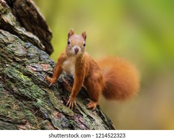 Squirrel, Autumn, nut and dry leaves