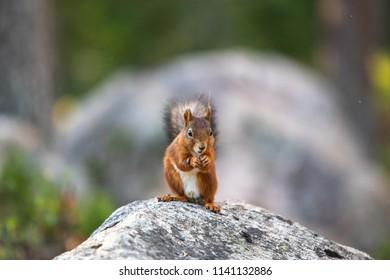 squirrel background nature