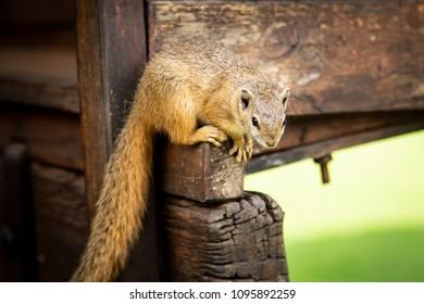 Squirrel at the bush camp