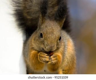 Squirrel chews hazelnut