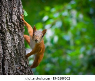 Squirrel climbs to top a tree on a summer day.