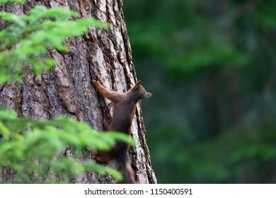 Squirrel climbs wood