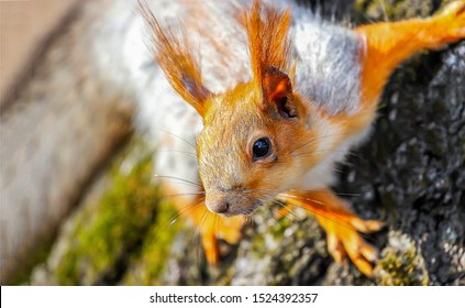 Squirrel cute face portrait view. Cute squirrel face. Squirrel. Squirrel eye