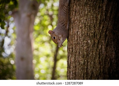 Squirrel dangling from tree eating nuts