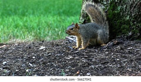 Squirrel defending tree, tail up, facing left, horizontal