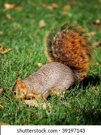 Squirrel digging for nut