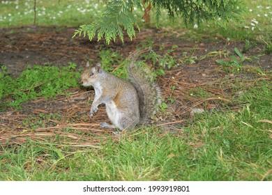 Squirrel at the Dublin National Botanic Gardens.