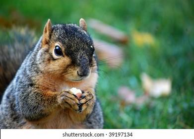 Squirrel eating nut - close up left