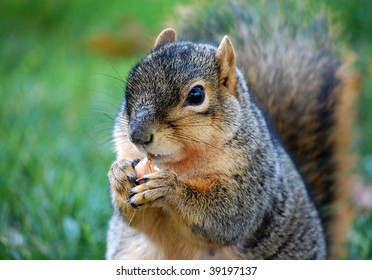 Squirrel eating nut - close up right