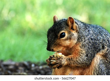 Squirrel eating nut, close-up, with grass in background, horizontal