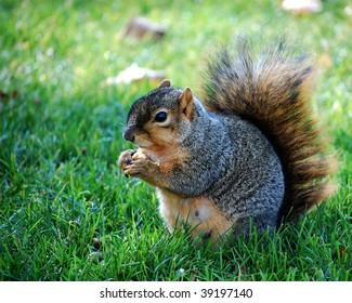 Squirrel eating nut - horizontal facing left