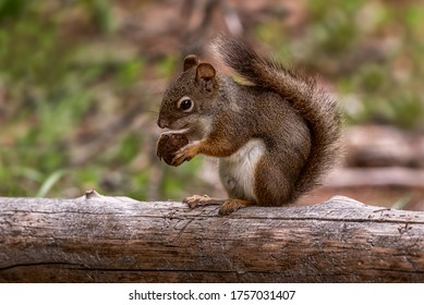 Squirrel eating a nut sitting on a treetrunk in Canada