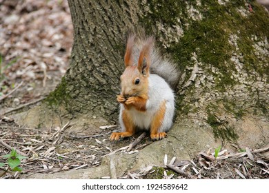 Squirrel eating a nut sitting on a treetrunk