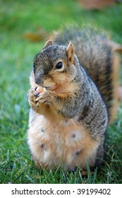 squirrel eating nut - straight on