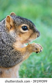 squirrel eating nut - vertical close-up