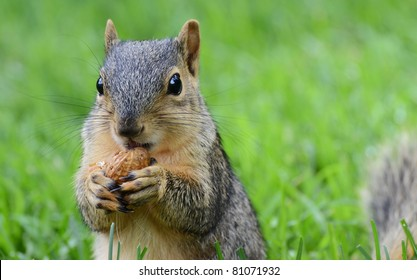Squirrel eating peanut, seen from the front