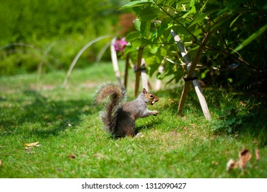 Squirrel is eating peanuts on the green grass.