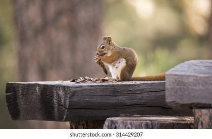 Squirrel eating pine cone, Black Hills, South Dakota