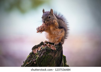 Squirrel eating a pine cones.