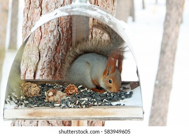 Squirrel eating seeds and nuts in manger in winter forest