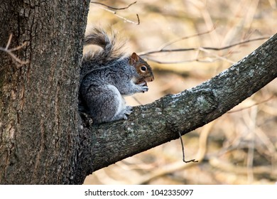 A squirrel eats an acorn while perched up on a high tree branch.