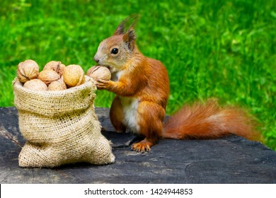 Squirrel eats nuts in the park. A bag with walnuts - a gift for a squirrel.