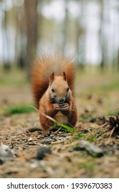 Squirrel eats nuts sitting on the grass in the forest