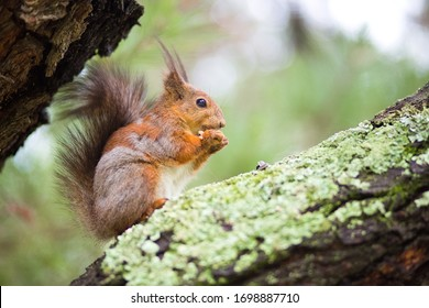 a squirrel with faded fur nibbles seeds, sitting on a branch