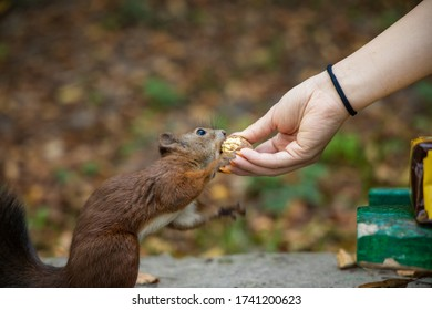 squirrel feeding from human hand funny animal scene outside space environment in park
