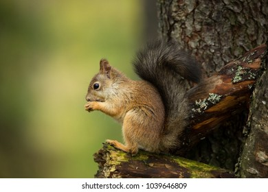 Squirrel from Finland.  Beautiful Scandinavian nature. Wild nature. Beautiful picture. European nature. Free nature.