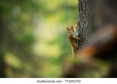 Squirrel from Finland. Finnish nature. Squirrel on a tree in Finnish wildlife.