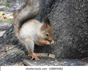 Squirrel in the forest of Eastern Europe. Flora and fauna