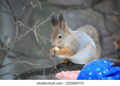 Squirrel in the forest sits on a tree with a nut and takes food from his hand