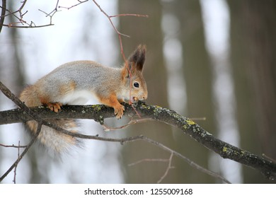Squirrel in the forest sitting on a tree