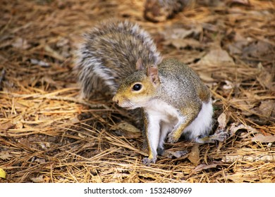 A Squirrel found playing in the woods near Lake Crabtree in Cary, North Carolina.