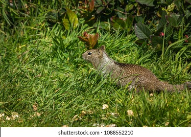squirrel in the grass with dandilions in spring 3