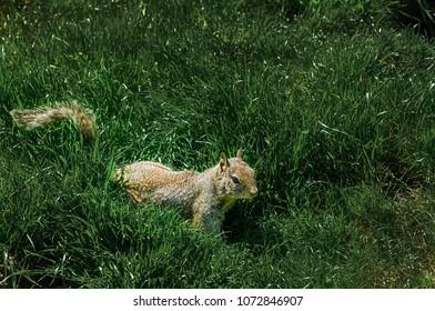 Squirrel in the Grass at Misson Peak Hills