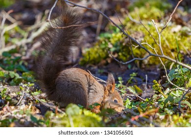 Squirrel in the ground with a big furry tail