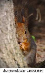 Squirrel hiding behind the tree. Half of the squirrel visible.