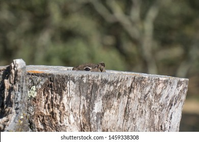 Squirrel hiding inside hollow stump, peeking out to see if safe, cute humorous animal funny scared peek-a-boo