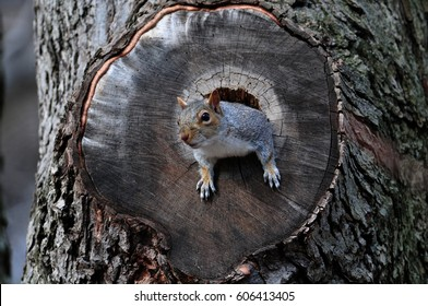 Squirrel in a Hole in a Tree