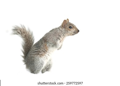 Squirrel Isolated white background