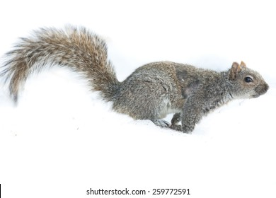 Squirrel Isolated white background running