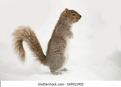 Squirrel Isolated White Background in Snow