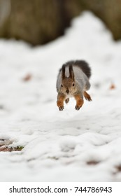 Squirrel jump in the air. Squirrel in the air.