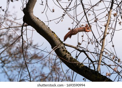 Squirrel jumping from a branch to another