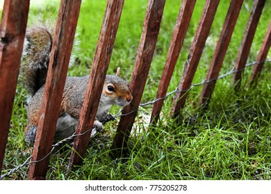 Squirrel looking through wooden fence