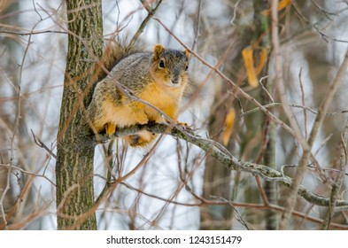 A squirrel looks on from a tree branch in the winter